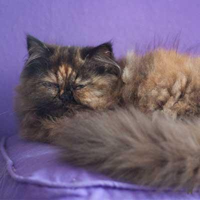 Katze Lara liegt gemütlich auf dem lila Kissen