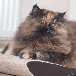 Katze Lara auf der mykotty Kratzpappe