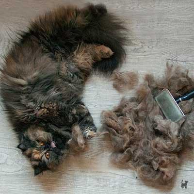 Katze Lara und ihre ausgebürstete Unterwolle