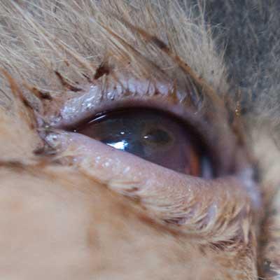 Hornhautsequester bei Katze Janis