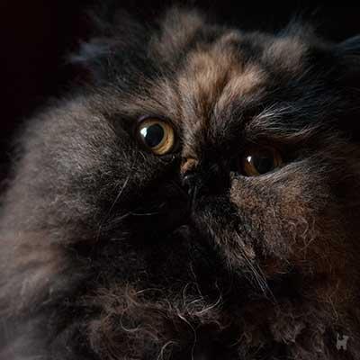 Katze Lara schaut aufmerksam in die Kamera