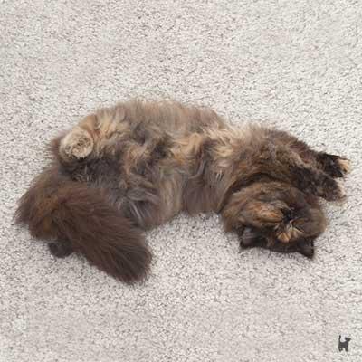 Katze Lara liegt gerne verdreht auf dem Teppich