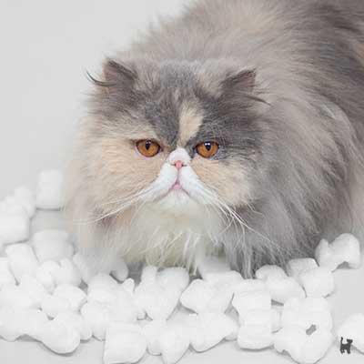 Katze Janis in einem Haufen Verpackungschips aus Mais