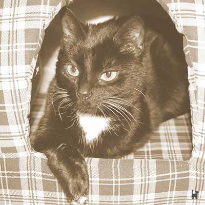 Schwarz/weisse Hauskatze Lucy