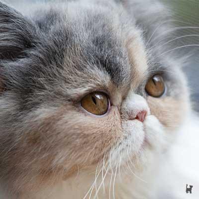 Perserkatze Janis mit kurzer Nase