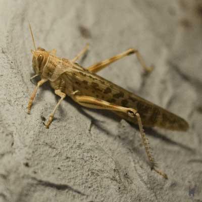 Heuschrecken dienen bereits jetzt als Futtertiere für viele Terrarientiere