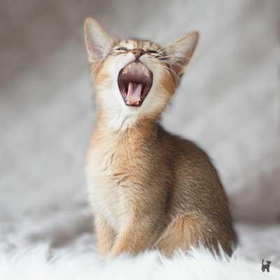 Abessinier Kitten gähnt