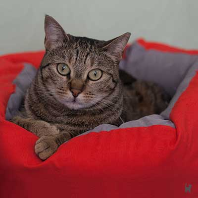 Getigerte Katze in Katzenbettchen