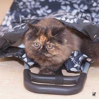 Kitten in Einkaufsroller