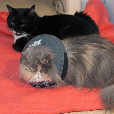 Katze Janis mit Halskrause
