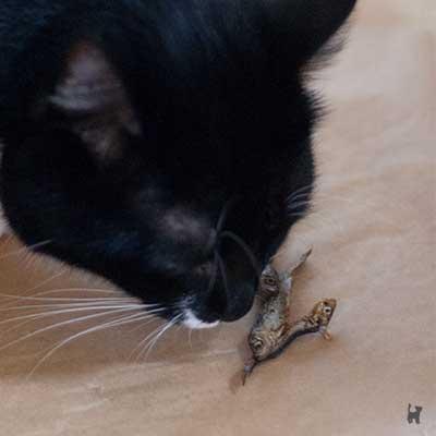 Katze riecht an getrocknetem Fisch