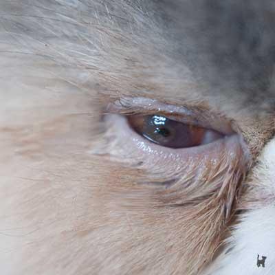 Hornhautsequester am Katzenauge