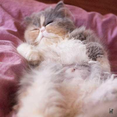 Kitten Janis mit rasiertem Bauch