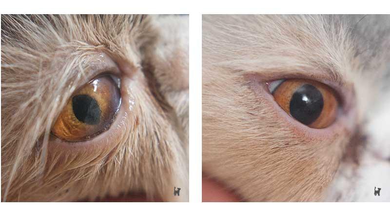 Katze mit trüber und klarer Pupille