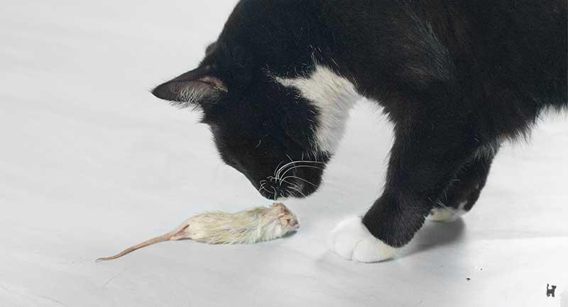 Katze riecht an weißer Maus