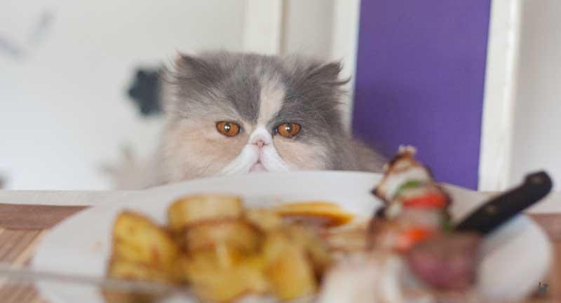 Katze starrt Essen an