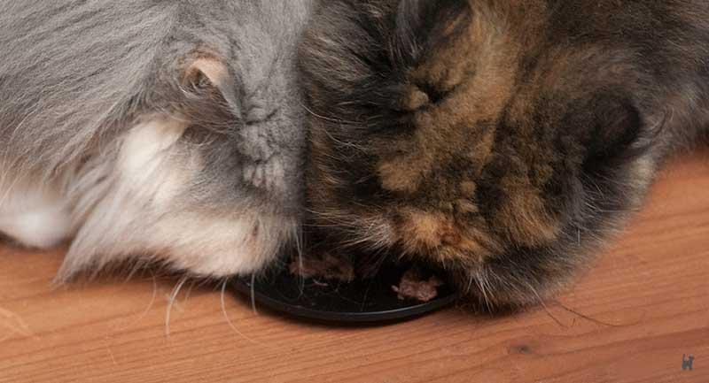 Zwei Katzen fressen das Futter vom Teller