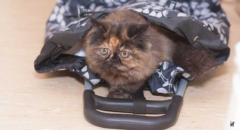 Kitten in Einkaufstrolley