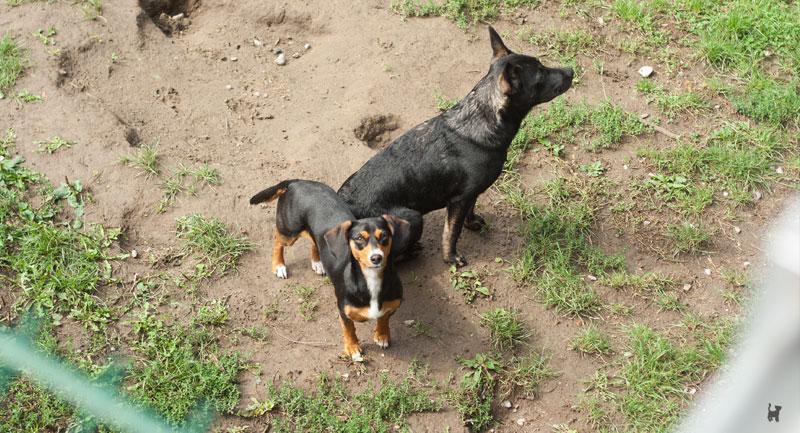 Hunde im Außengehege