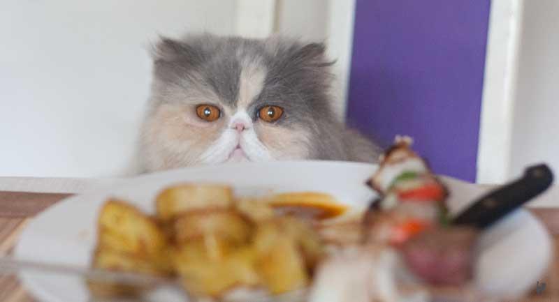 Katze bettelt am Tisch