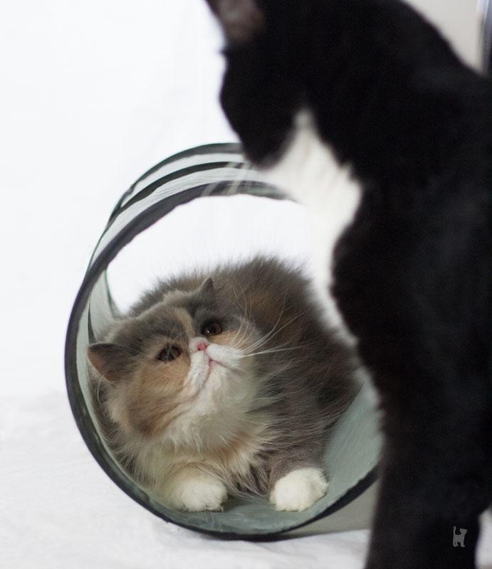 Katzen spielen am Rascheltunnel