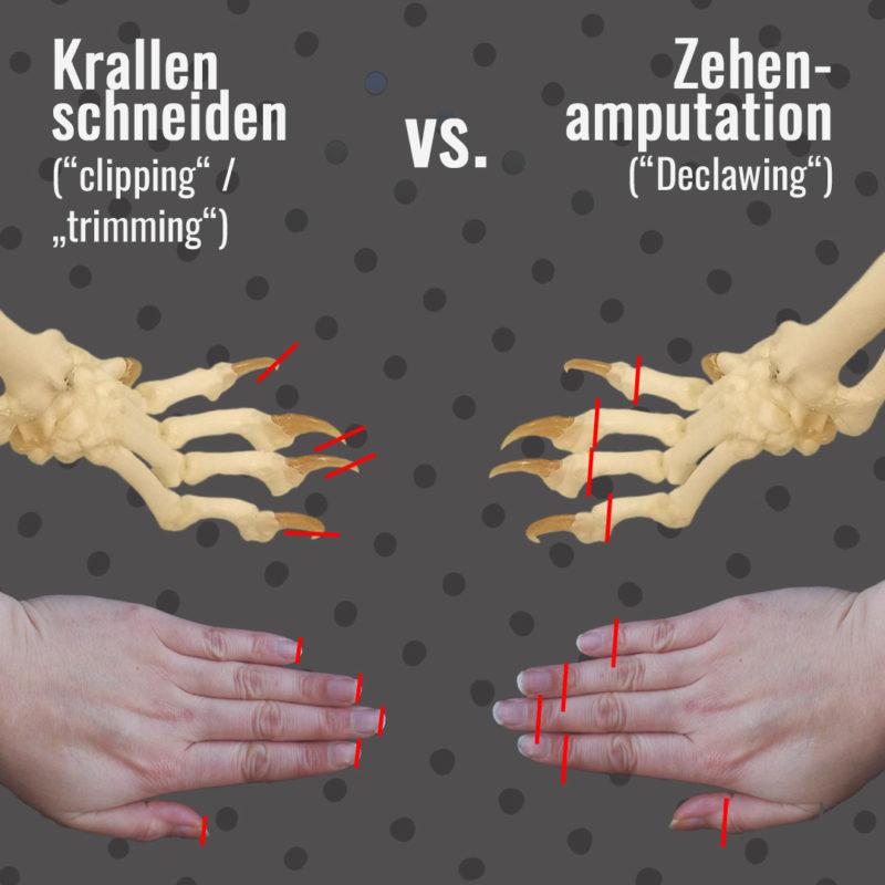 Die Grafik zeigt den Unterschied zwischen Krallenschneiden und Zehenamputation